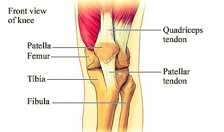 Knee Anatomy Front View