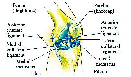 Knee Anatomy Ligaments